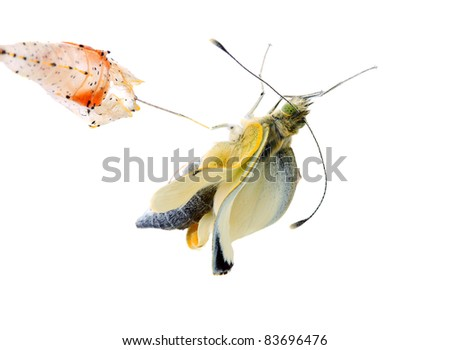 Cabbage butterfly ( Pieris brassicae) coming out of cocoon over white background - stock photo