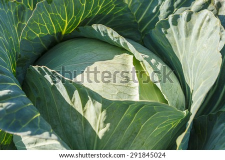 cabbage close up - stock photo