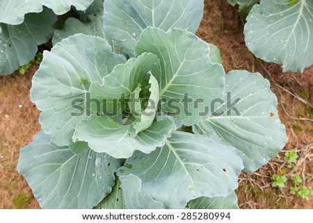 cabbage crop on the mountain cold. Agricultural lands are mainly on the mountain.