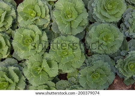 Cabbage, decorative - stock photo