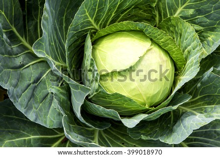 Cabbage detail