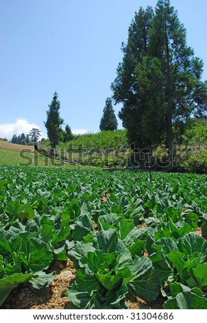 cabbage farms with pine trees in the Fushoushan Farm, Taiwan