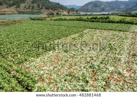 Cabbage field harvesting