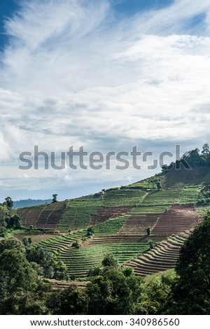 cabbage field in Mon Cham (Mon Jam) mountain, famous travel location in chiangmai, Thailand