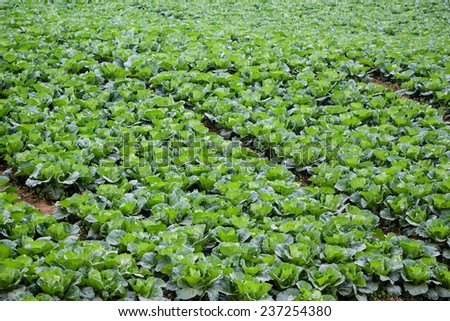 cabbage field in the country side
