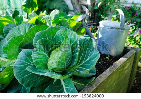 Cabbage grow in home vegetable garden.