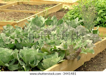 Cabbage In The Garden - cabbage plants growing in container gardens in summer.