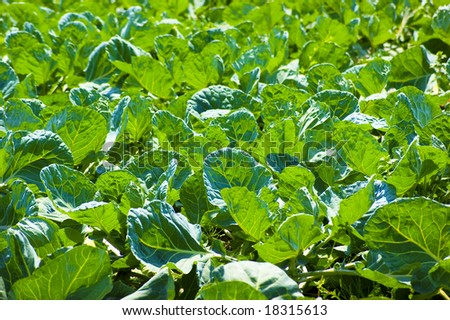 Cabbage in the sunlight