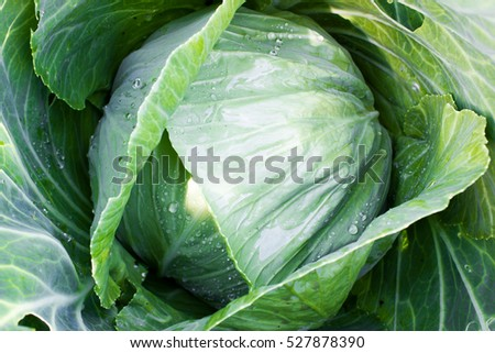 Cabbage leaves grow in the garden