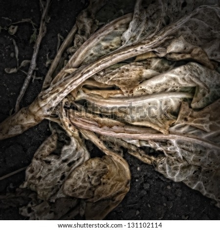 Cabbage on a Compost Heap/Artistically alienated to create a grungy somber atmosphere. - stock photo