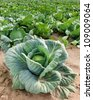 cabbage on a field - stock photo