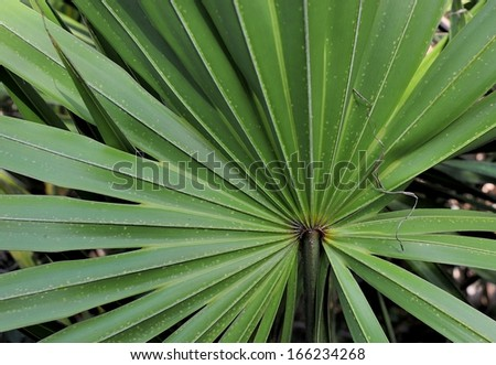 Cabbage Palm closeup in Florida - stock photo