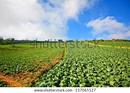 Cabbage  plantation in Thailand