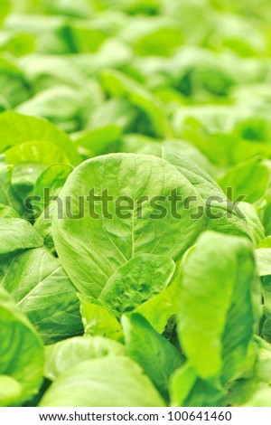 cabbage plants - stock photo