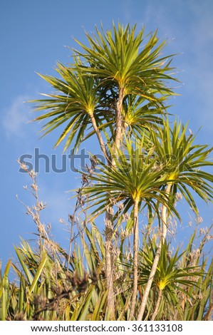 Cabbage trees with bright green leaves - stock photo