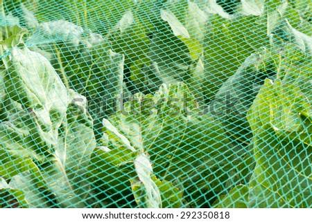 Cabbage under a protective net in the in the organic vegetable garden Groentenhof in Leidschendam, Netherlands. - stock photo