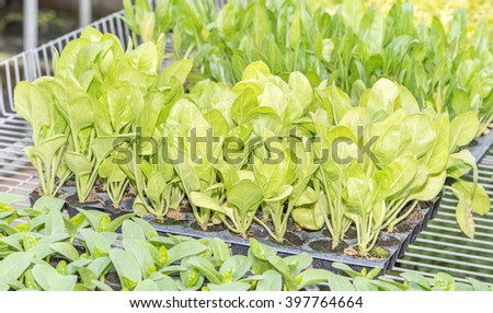 Cabbage vegetable shoots