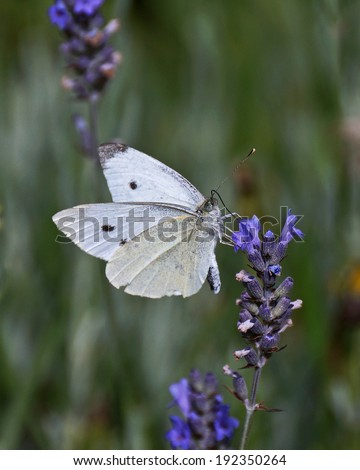 Cabbage White Butterfly - stock photo