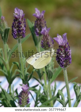 Cabbage white on lavender
