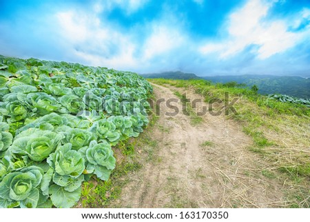cabbages field - stock photo