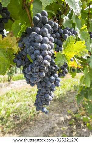 Cabernet Red Wine Grape in a Vineyard - stock photo