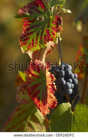 Cabernet Sauvignon in Clos Vougeot - stock photo