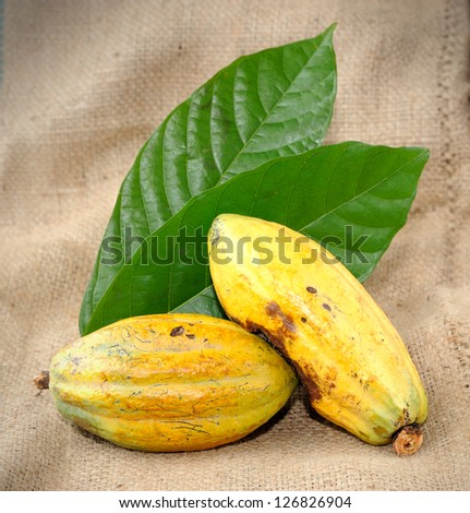 Cacao fruits with leaf, selective focus.