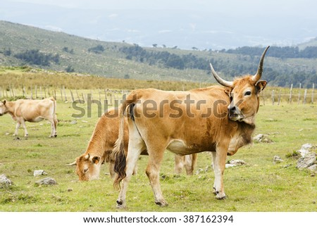 cachena cow,  native of  Galician,  in green mountains  of Cape Ortegal, Galicia, Spain