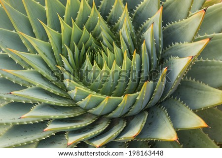 cacti leaves spiral  - stock photo