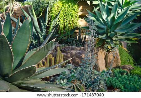 cactus and agava at tropical garden - stock photo