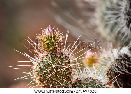 Cactus budding blossom in desert heat in summer or spring - stock photo