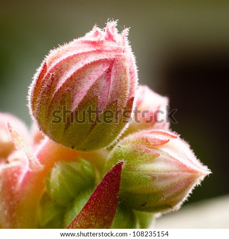 Cactus buds - stock photo