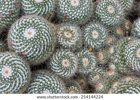 Cactus (cactaceae, mammillaria multicepts) - stock photo