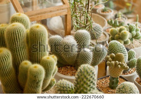 cactus,cactus plant in flowerpot - stock photo
