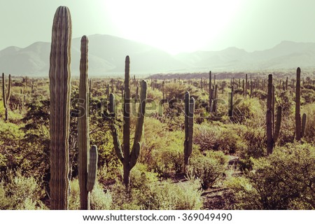 Cactus fields in Mexico, Baja California