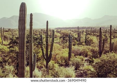 Cactus fields in Mexico, Baja California - stock photo