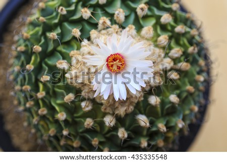 Cactus Flower Blooming in soil pot - stock photo