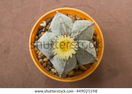 Cactus flower blooming on sandstone background,Astro asterias my - stock photo