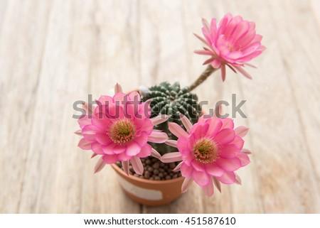 cactus flower,Echinopsis cactus flower,pink cactus flower,selected focus - stock photo
