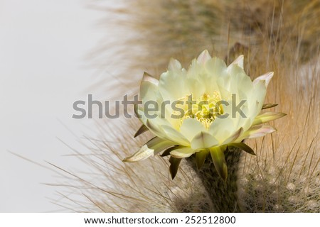Cactus flower in Bolivia - stock photo