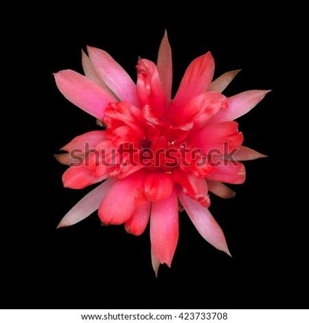 Cactus flower isolated on black background - stock photo