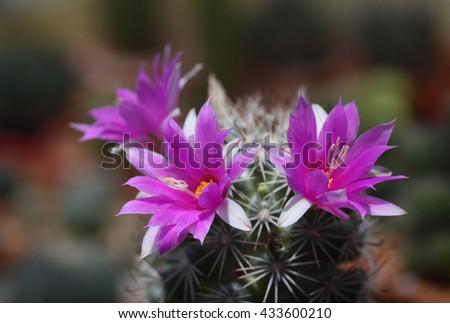 Cactus flower (Mammillaria schumannii) - stock photo