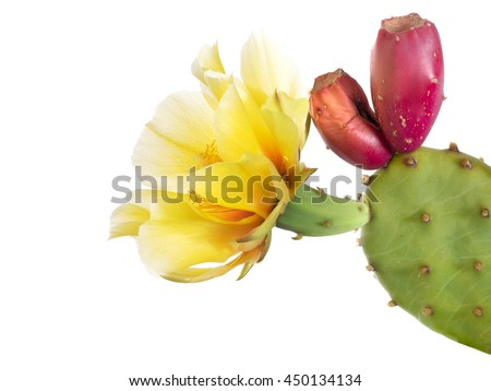 Cactus flower with young fruit, Indian fig. Isolated  on white. Opuntia ficus indica. - stock photo