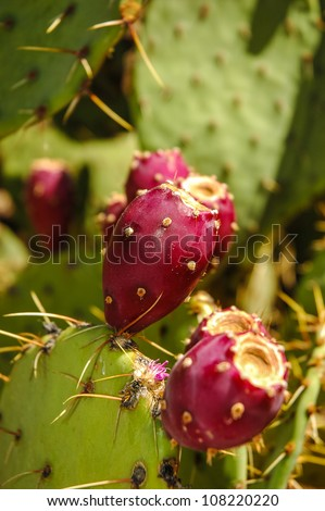 Cactus flowers in Zion National Park, Utah, USA, Kaktusbl�¼ten im Zion Nationalpark, Utah, USA - stock photo