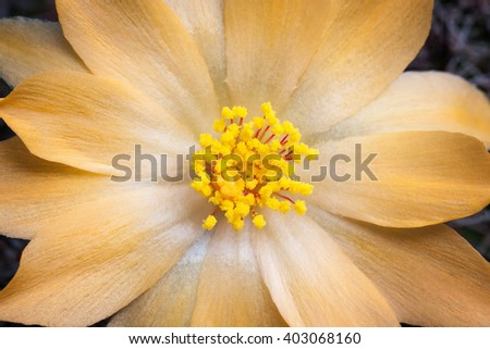 Cactus flowers yellow beautiful. Rarely bloom once. - stock photo
