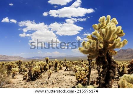 Cactus garden, Joshua Tree National Park - stock photo
