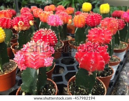 Cactus garden with red and yellow flowers. Fancy dwarf cactus is popular for garden with limited space. - stock photo