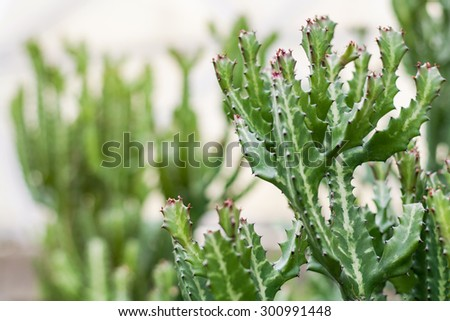 Cactus, Green Prickly Cactus Leaf in the Desert - stock photo