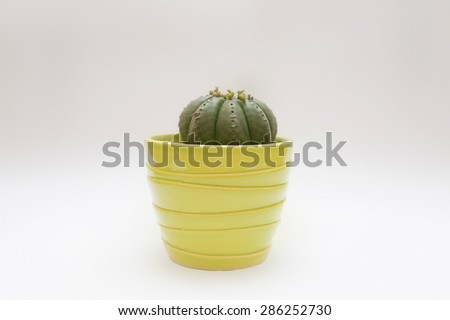 Cactus in a flower pot on a plain background