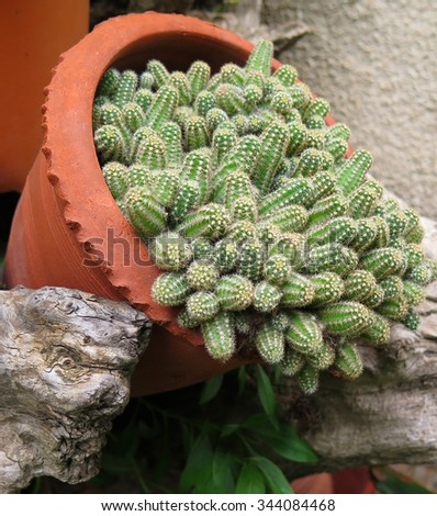 Cactus in a pot in a rustic setting                              - stock photo
